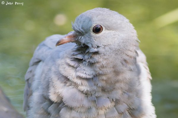 Paloma zurita