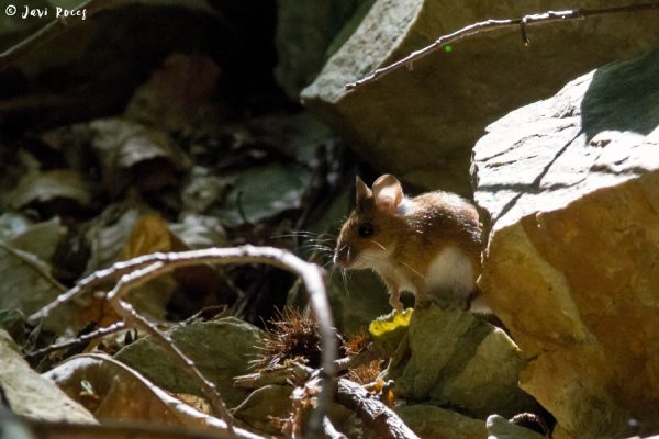 Ratón (Apodemus silvaticus)