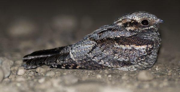 Chotacabras gris