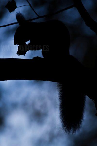 Ardilla en la intimidad (Sciurus vulgaris)