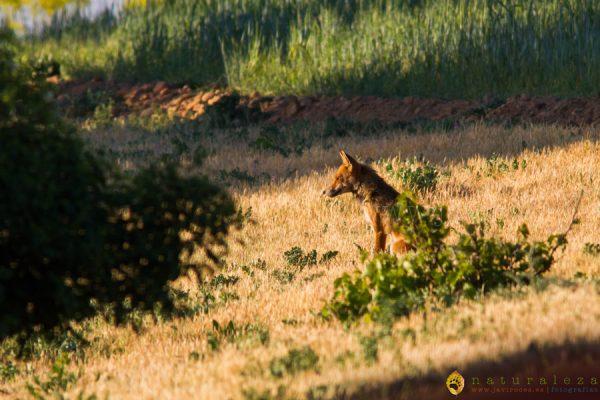 Zorro rojo al amanecer (Vulpes vulpes)