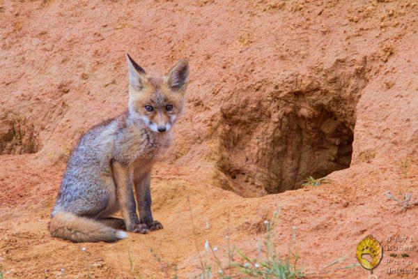 Cría de zorro en zorrera (Vulpes vulpes)