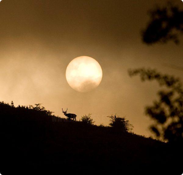 Venado, sol y niebla. (Cervus elaphus)