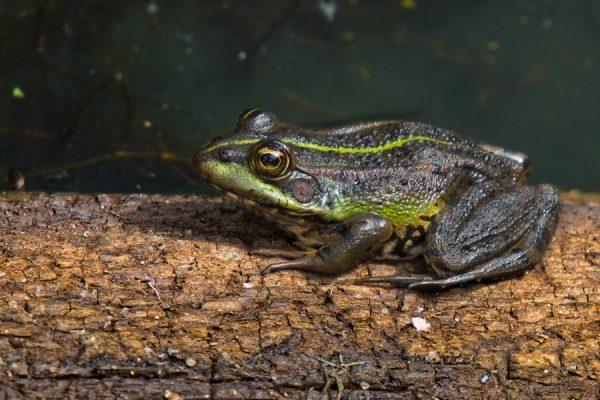 Rana común o rana verde