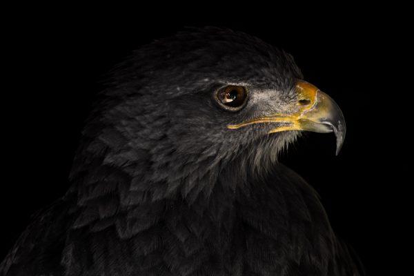 Águila de Azara