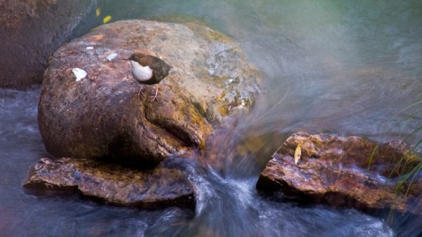 Mirlo acuático