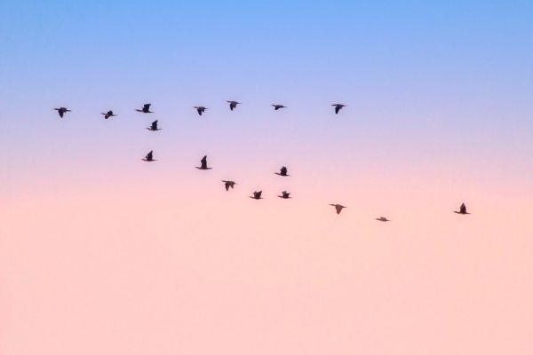 Cormoranes grandes