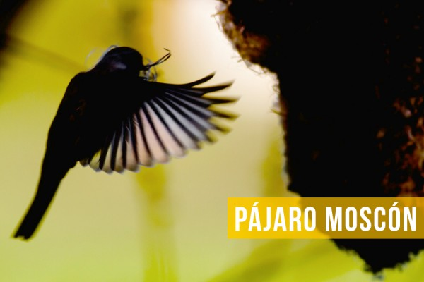 Pájaro Moscón portada monográfico
