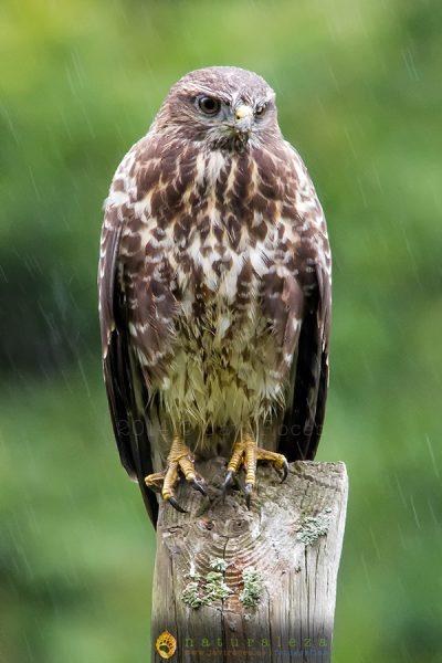 Ratonero bajo la lluvia