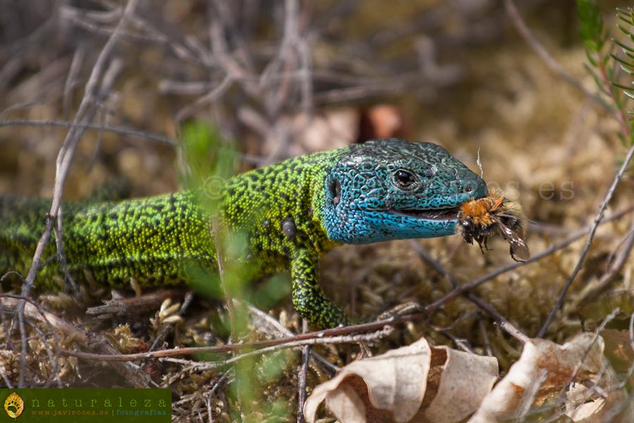 Lagarto verdinegro - Reptiles - Javi Roces - Fotografía y Naturaleza
