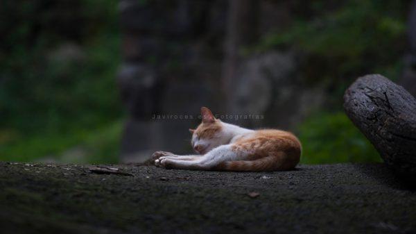 Gato sesteando