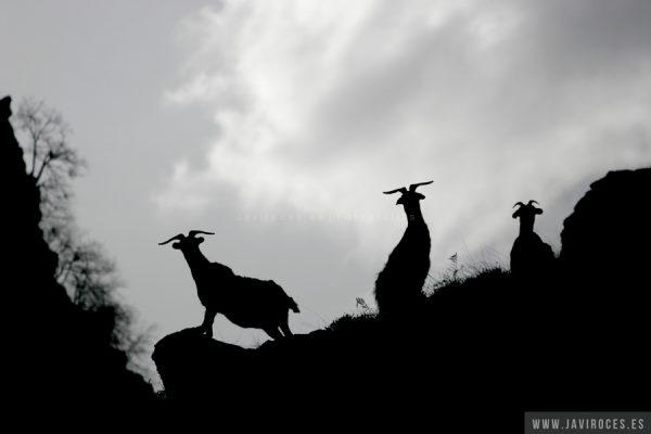 Cabras a contraluz