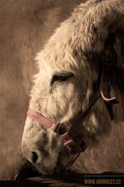Retrato de burro