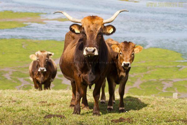 Familia de vacas