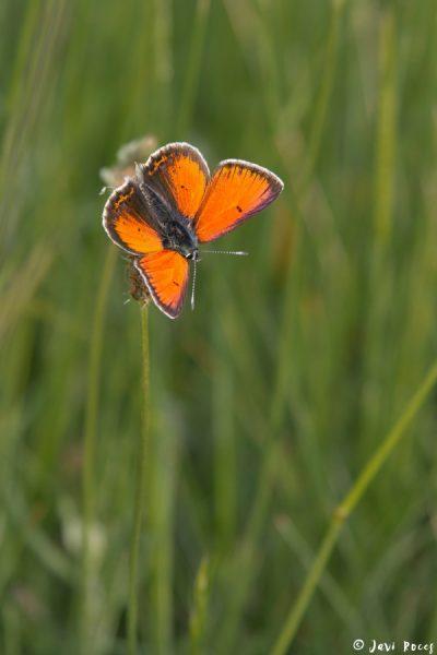 Mariposa licénido
