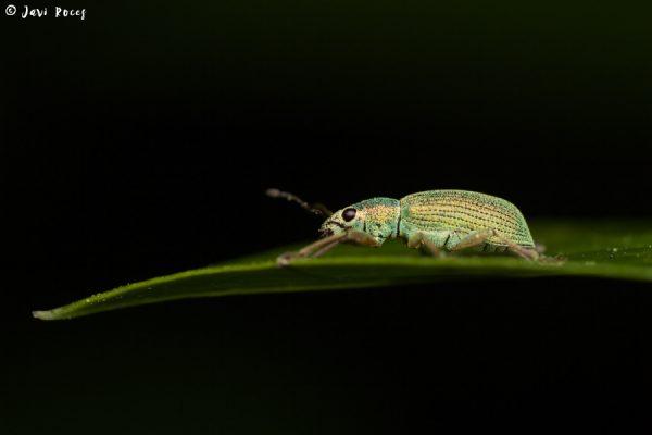 Gorgojo verde