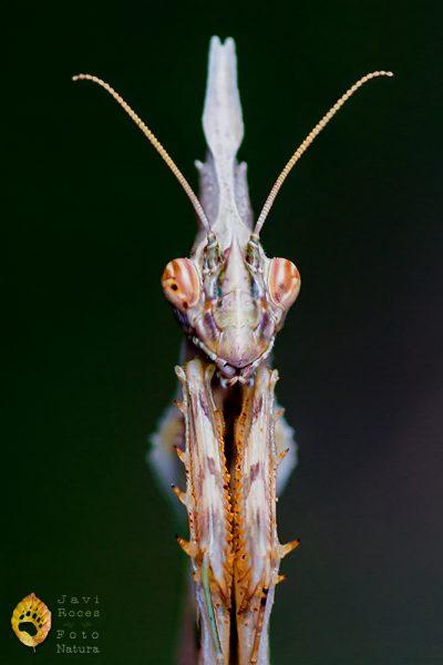 Mantis palo