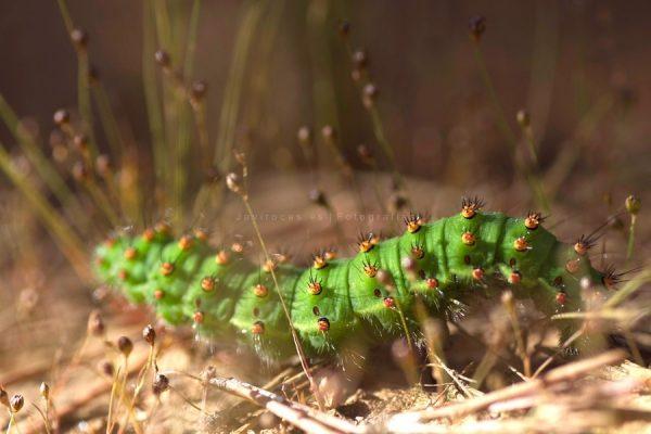 Oruga verde