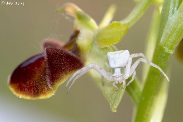 Araña cangrejo sobre orquídea