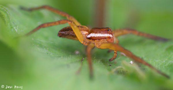 Araña Pisaura