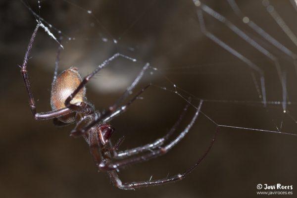 Araña: Meta sp.