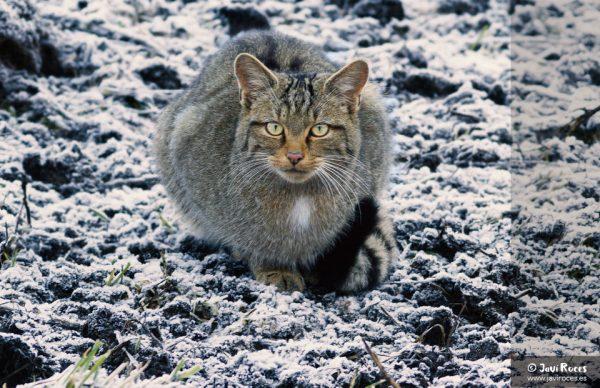 Gato Montés