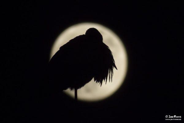 Cigüeña y luna