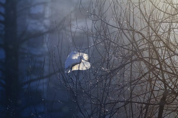 Garcilla bueyera