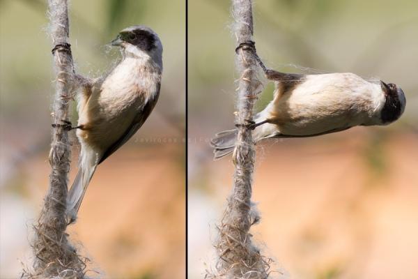 Pájaro moscón tejiendo