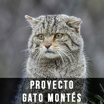 Proyecto Gato Montés